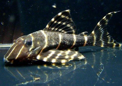L204 Панак полосатый (L204 Panaque sp.PERU STRIPED)