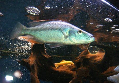 Димидиохромис компрессицепс мраморный (Dimidiochromis compressiceps calico OB)