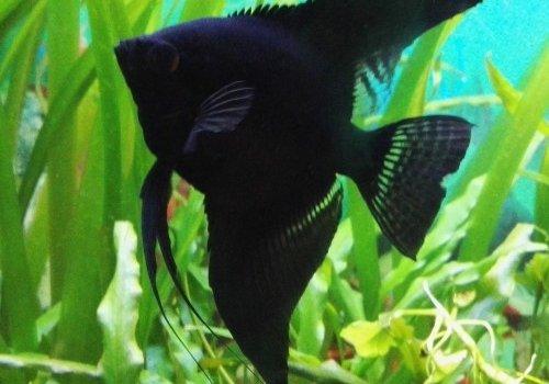Скалярия черный дьявол (Scalare Black Devil)