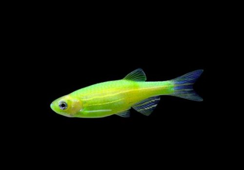 Данио электрик грин (Danio Electric Green GloFish)