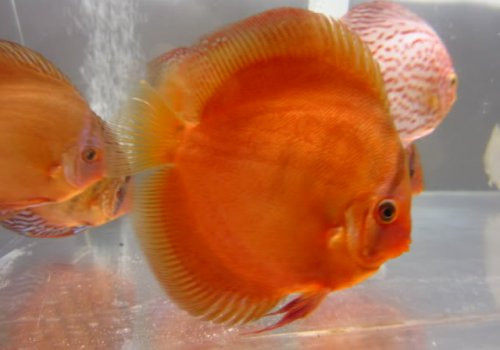 Discus Red cover top grade A