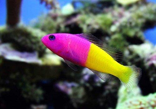 Псевдохромис королевский (Pseudochromis paccagnellae)