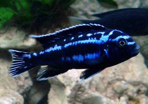 Меланохромис йохани (Melanochromis johanni)